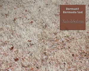 Types of Sod in Nashville Bermuda and Zoysia in winter winter-bermuda-sod